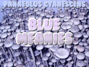 Blue Meanies Panaeolus Cyanescens