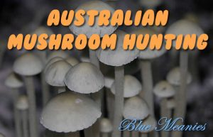 Magic mushrooms Australia Blue Meanies