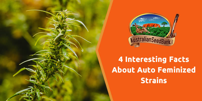 4 Interesting Facts About Auto Feminized Strains