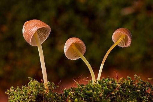Liberty Bell Mushroom