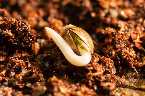 Buying Quality Marijuana Seeds in Australia