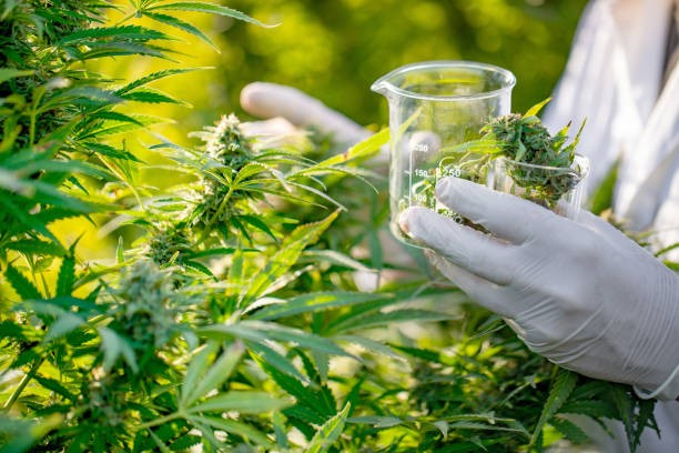How Cannabis Is Changing the World