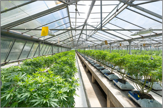 Cannabis plants for better yields