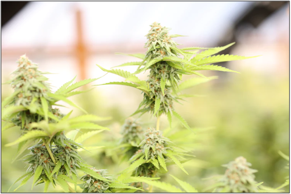 Cannabis Indica plants